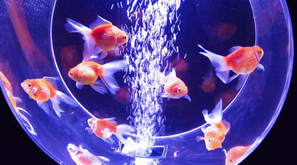 ライトアップされた水槽で泳ぐ金魚/東京ソラマチ(R)で、様々な形の水槽で珍しい金魚を展示する『バレンタインアクアリウム』2019年